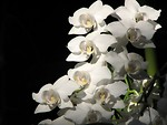 Free Stock Photo: White orchids on a black background