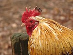 Free Stock Photo: Closeup of a rooster
