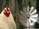 Free Stock Photo: Closeup of a rooster in front of a windmill
