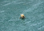 Free Stock Photo: A honey bee on a blue tarp