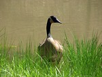 Free Stock Photo: Close-up of a Canadian goose in the grass by a pond