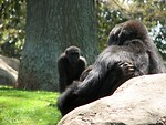 Free Stock Photo: Closeup of a gorilla sitting on a rock