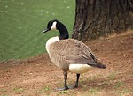 Free Stock Photo: Close-up of a Canadian goose by a lake