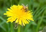Free Stock Photo: A bee on a yellow dandelion