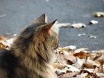 Free Stock Photo: A cat standing in leaves