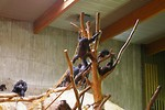 Free Stock Photo: A group of chimpanzees in an indoor habitat.