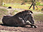 Free Stock Photo: A zebra lying on the ground