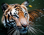 Free Stock Photo: Close-up of a tiger in the water.