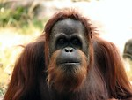 Free Stock Photo: Orangutan portrait