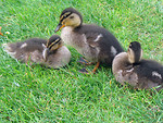 Free Stock Photo: A duck with ducklings in the grass