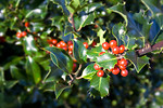 Free Stock Photo: A holly bush.