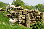 Free Stock Photo: Sheep by a stone wall in a field