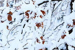 Free Stock Photo: Snow covered leaves