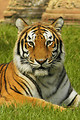 Free Stock Photo: Close-up of a Bengal tiger