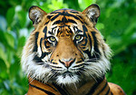Free Stock Photo: Close-up of a Sumatran tiger