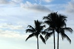 Free Stock Photo: Palm tree silhouettes before a cloudy blue sky